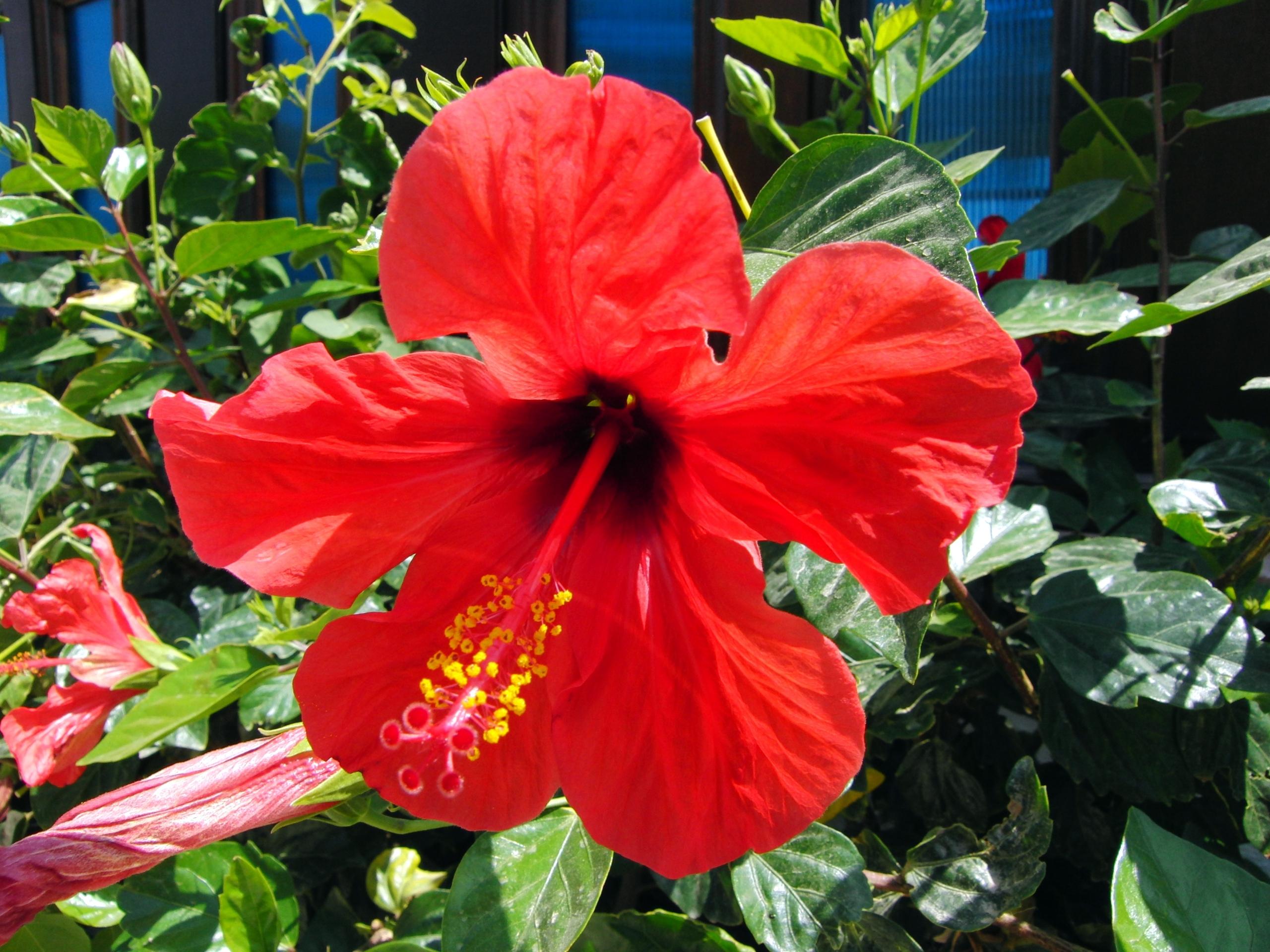 Image hibiscus rosa sinensisg topo wiki fandom powered by wikia hibiscus rosa sinensisg izmirmasajfo