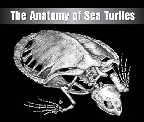 Anatomía de las tortugas marinas (libro)   Wiki Tortuga   FANDOM ...