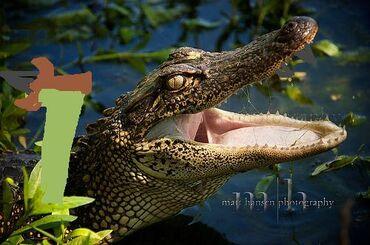 The-American-Alligator's-Bite-Force