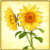 Item-Sunflower