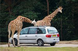 Giraffa camelopardalis -Safaripark Beekse Bergen-11July2009