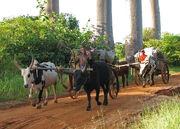 Charrettes zébus Madagascar