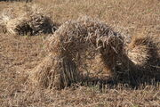 Corn sheaves from binder - IMG 1831