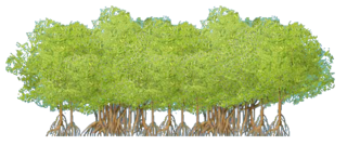 Mangrove Thicket