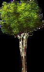 Small Platanus