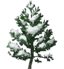 Snowy Young Pine