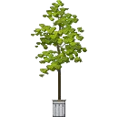 Potted Sycamore