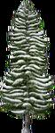 Snowy Tall Fir