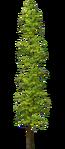 Tall Poplar