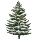Snowy Small Fir