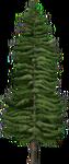 Tall Fir
