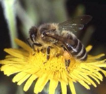 Food gathering behavior of bees