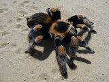 Tarantulas (Alpha)