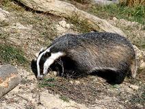 'Honey' the badger in daylight
