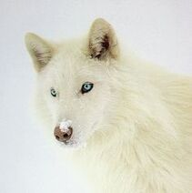 8d9bc283e36a8e83120d6848e2823ad5--blue-eyed-animals-white-wolves