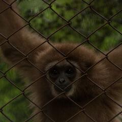 Gibbon monkey, Phuket, Thailand