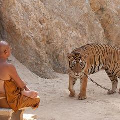 Tiger temple near Kanchinaburi, Thailand