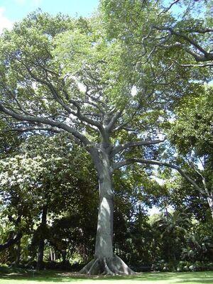 450px-Kapok tree Honolulu