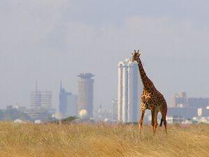 Giraffe Skyline Nairobi Park