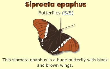 Siproeta epaphus