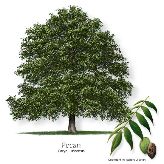 image the pecan tree state tree of texas jpg trees of texas