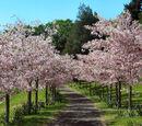 Prunus avium (Sweet Cherry)