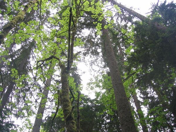 CapilanoRiverRegPark-trees