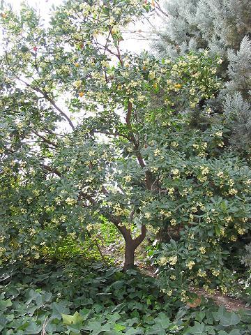 Arbutus unedo - tree