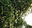 Mango Tree Mangifera indica