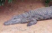 Nile crocodile 0082