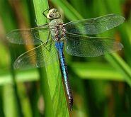 Green-Darner-Male