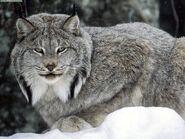 Canadian-lynx