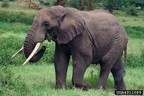 Loxodonta africana 14