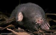 Star-nosed mole 1