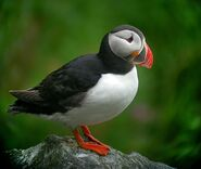 550px-Atlantic Puffin