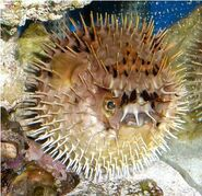 Porcupine Pufferfish Inflated