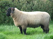 7 month old Suffolk Ram Lamb
