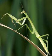 Long-praying-mantis
