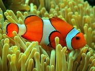 310-False-Clown-Anemonefish1