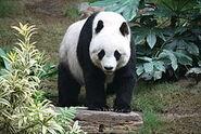 Grosser Panda