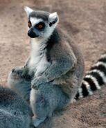 Lemur hunting