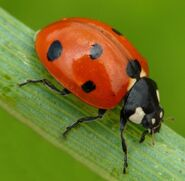 Ladybug-crawling-on-a-blade-of-grass