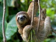 Climb Sloth