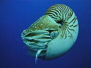 220px-Nautilus Palau