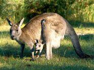 Gray-kangaroo 554 600x450