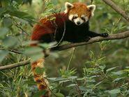 Red-panda 680 600x450