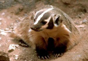 Badger-animal-meles-meles