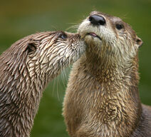 Otters are cute