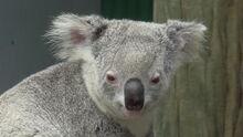 Koala 6