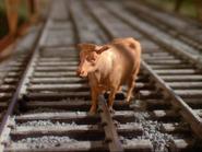 Cows26